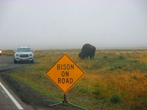 Bison on Road