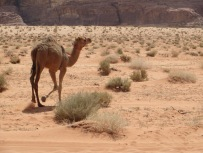 A wild camel scurrying away