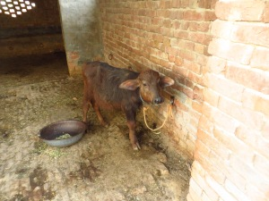 A young calf on the farmstead in Phagwara, Punjab